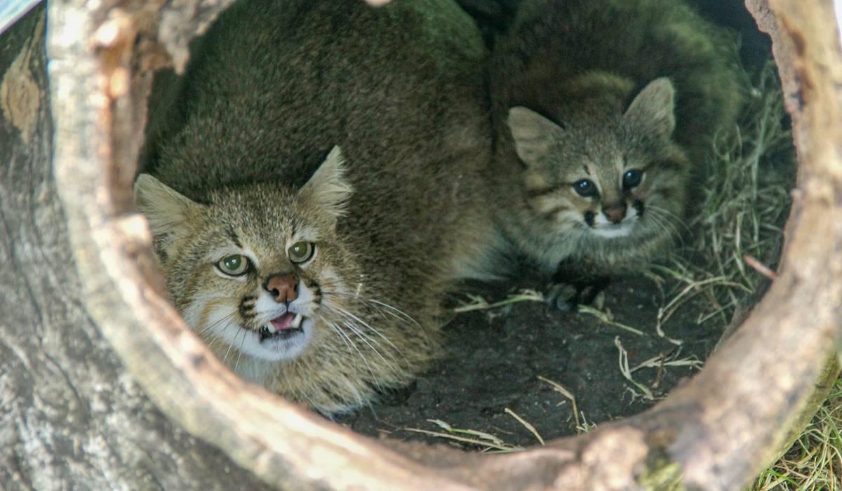 Uruguay tiene una nueva especie de felino | la diaria | Uruguay