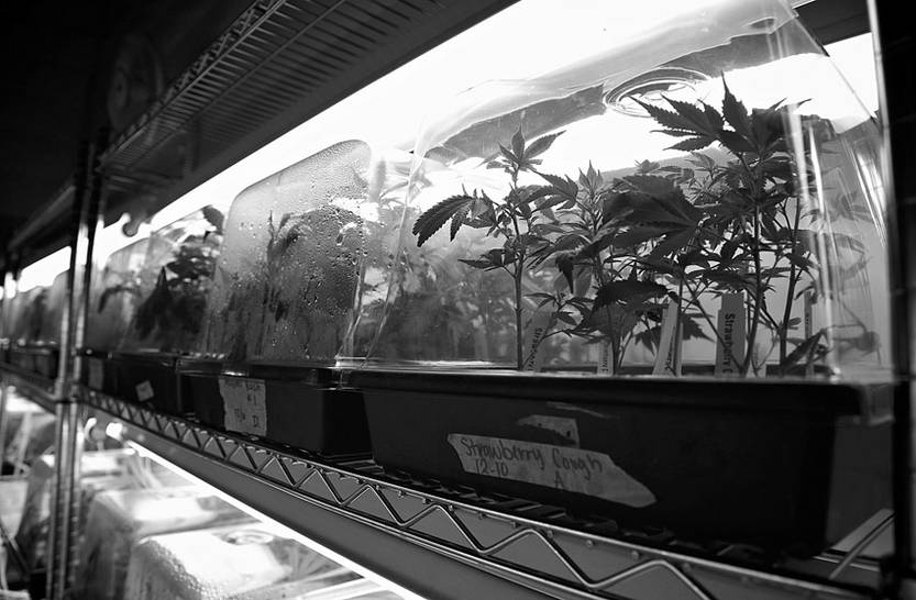 Varias plantas en el centro de crecimiento de marihuana de O Pen Vape, en Denver (EEUU).