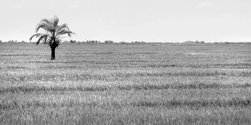 Plantación de arroz en Rocha. Foto: Sandro Pereyra (archivo, enero de 2017)
