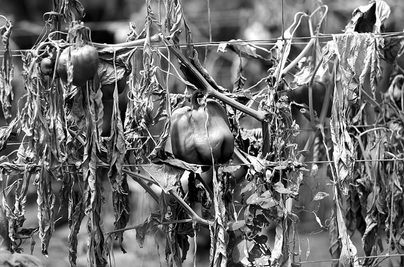 Plantas de morrones muertas, ayer, en un establecimiento en La Armonía, Canelones. Foto: Pablo Vignali
