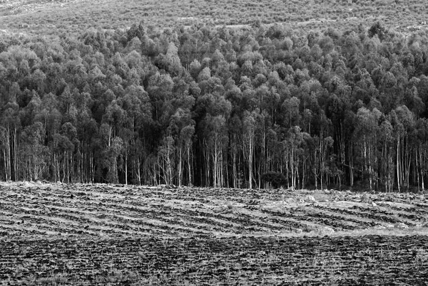 Terrenos forestados y preparados para forestar sobre la ruta nacional N 8 en el Km.104 próximos a la ciudad de Minas Lavalleja. / Foto: Fernando Morán (archivo febrero de 2007)